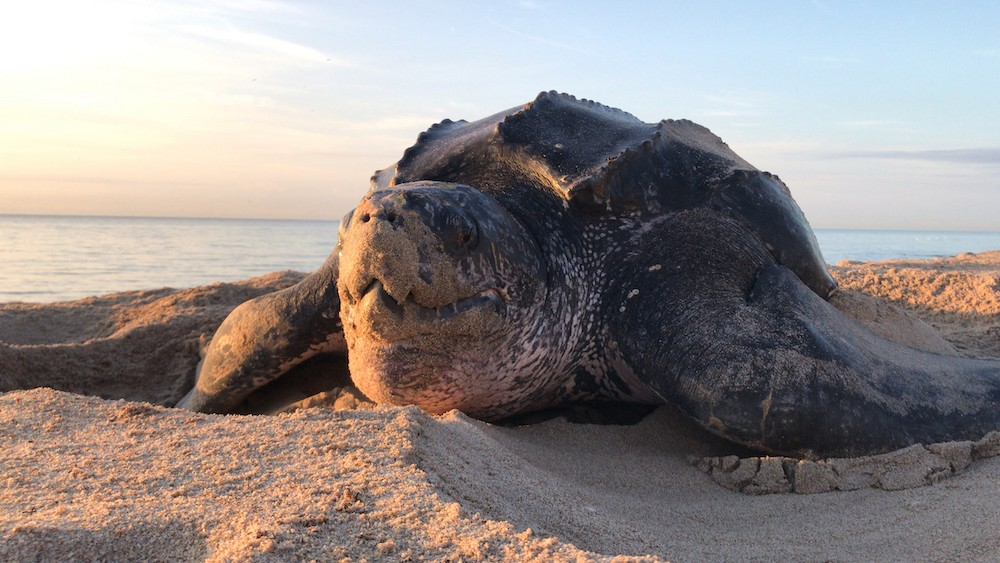Hunted for its meat, 213-kg leatherback turtle slaughtered in North Sumatra