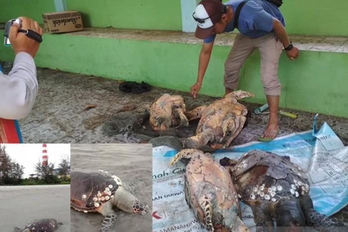 Rising sea temperatures blamed for killing turtles in Bengkulu