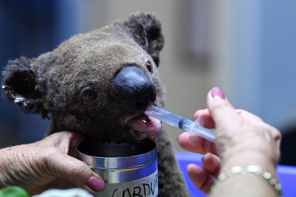 Australia's 'insurance' koala population halved by bushfires