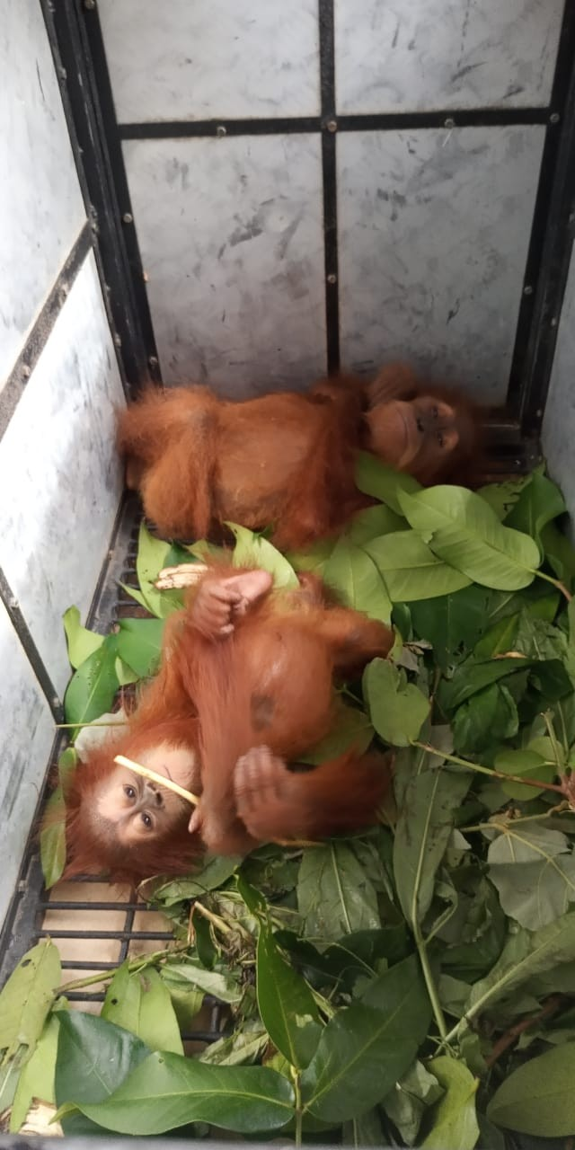 Two orangutans, a 1-year-old female and a 2-year-old male, lie down in their cage after being rescued from smugglers in Empus village, Langkat, North Sumatra, on Jan. 9.