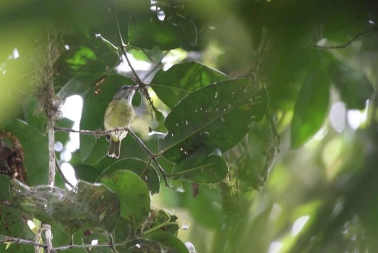 The Peleng Leaf-warbler.