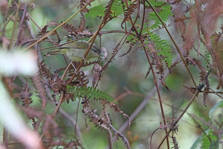 The Taliabu Leaf-Warbler.