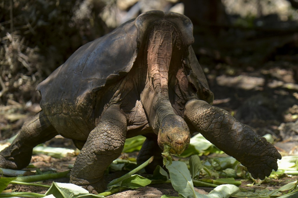 Giant tortoise Diego, a hero to his species, is home