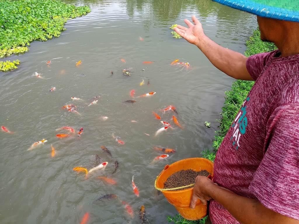 Koi farmer Ahmad Dardiri feeds his koi fish in Sekardangan hamlet, Blitar regency, East Java, on Jan. 10, 2020.