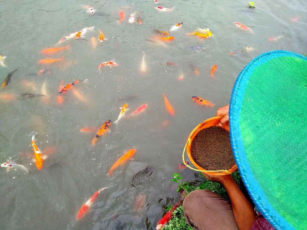 Thousands of farmers in Blitar have turned their rice fields into ponds to breed koi fish.