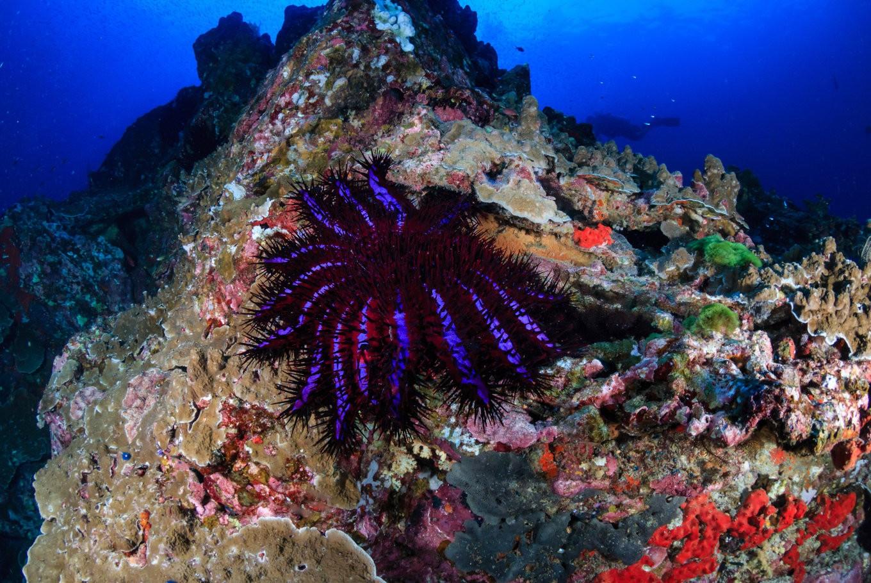 Dangerous starfish species threatens coral reefs in Raja ... - photo#12