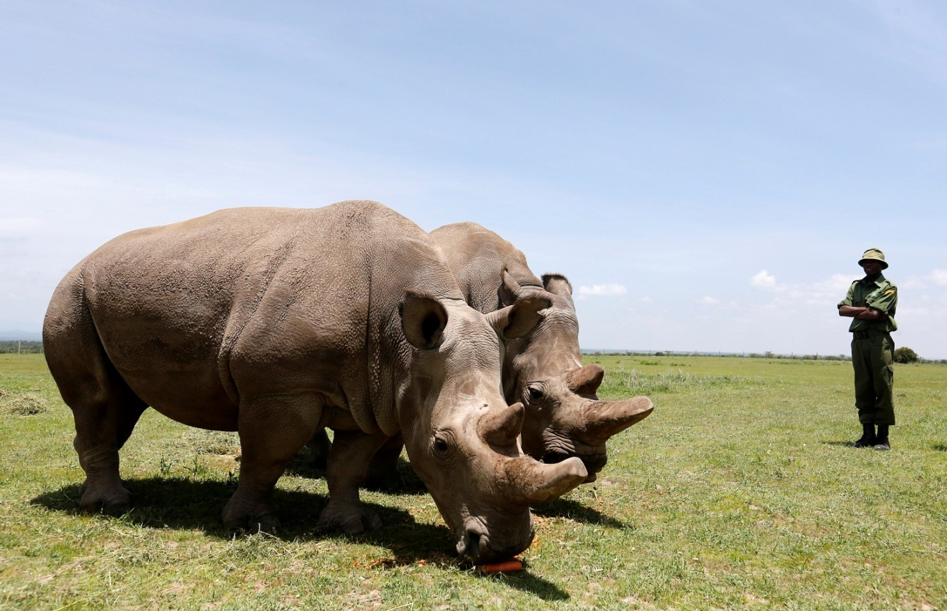 Scientists hope to revive near-extinct northern white rhino in Kenya