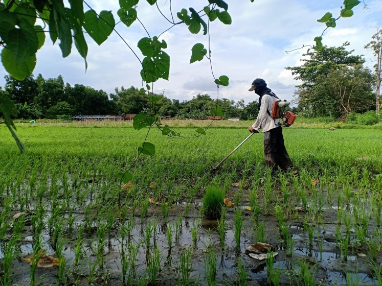 With the help of a worker, Miftahul cultivates10,000 square meters of land that he rents, of which 9,000 square metersis used to grow rice while the rest is used to breed catfish.