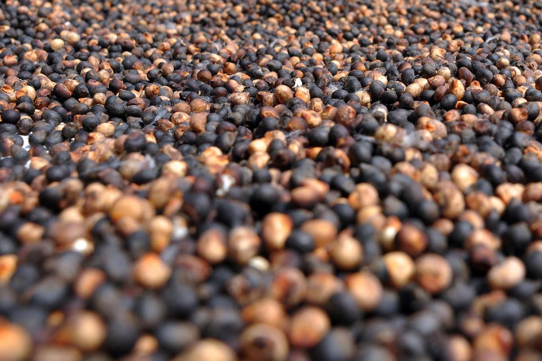 Dried kapok seeds. JP/ Magnus Hendratmo