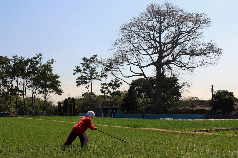 A withering kapok tree in Klaten, Central Java. JP/ Magnus Hendratmo