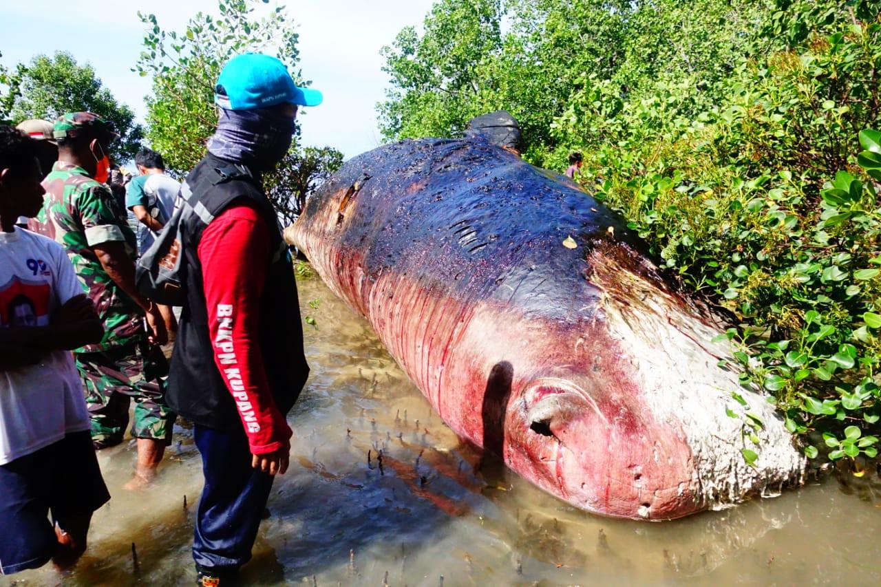 Dead sperm whale found in mangrove area of NTT beach