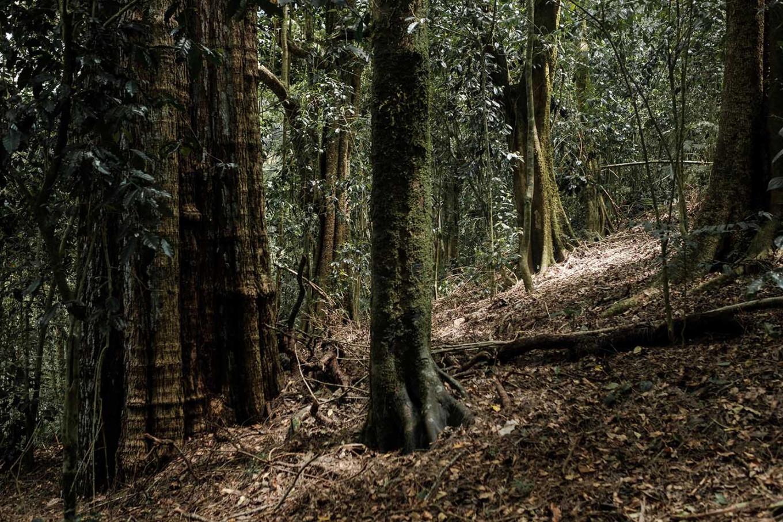 An old tree in Merta Jati forest, Bali. JP/Anggara Mahendra