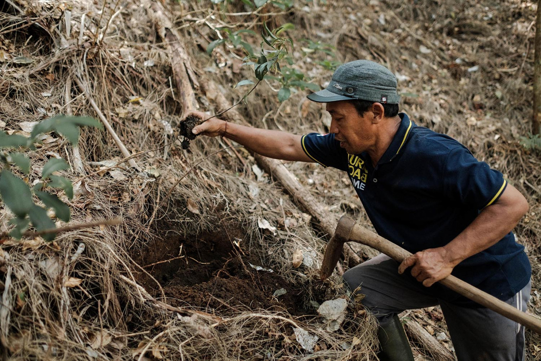 A farmer digs a hole for the banyan plant. JP/Anggara Mahendra