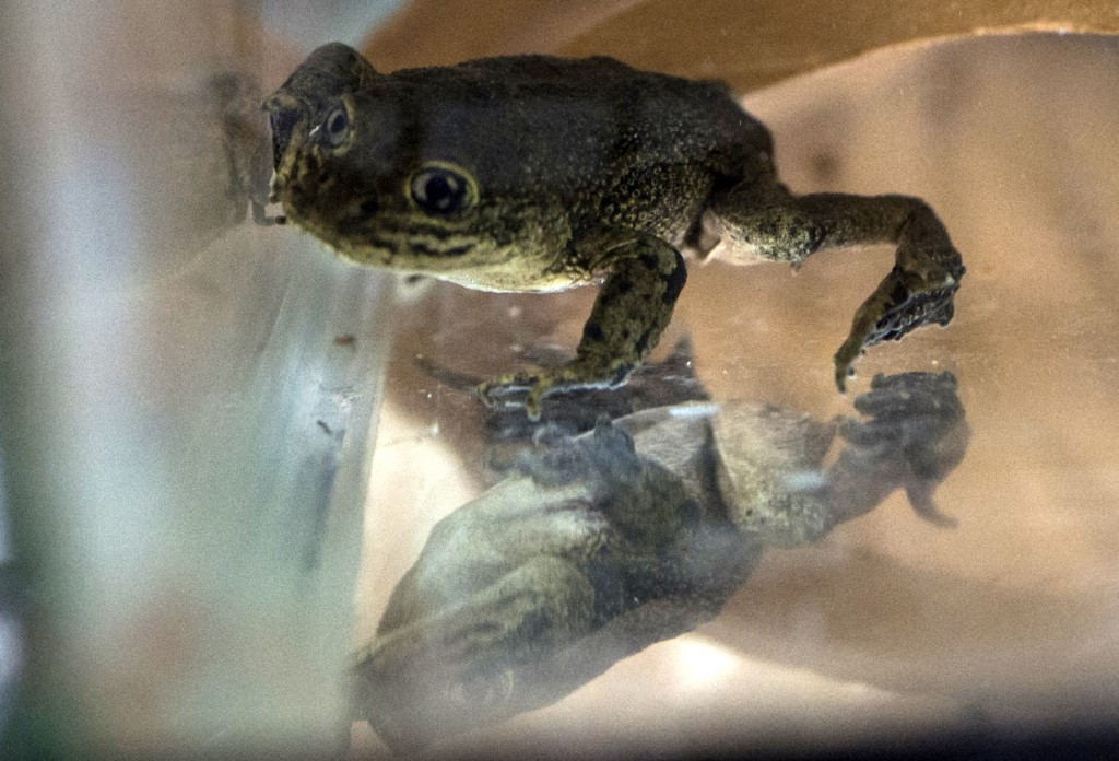 Chilean scientists scramble to save last of desert frogs from extinction