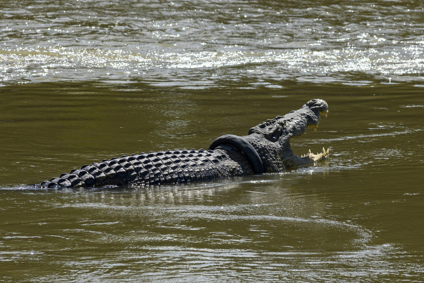 Up for a challenge? Contest held in Palu to save crocodile stuck in tire for years