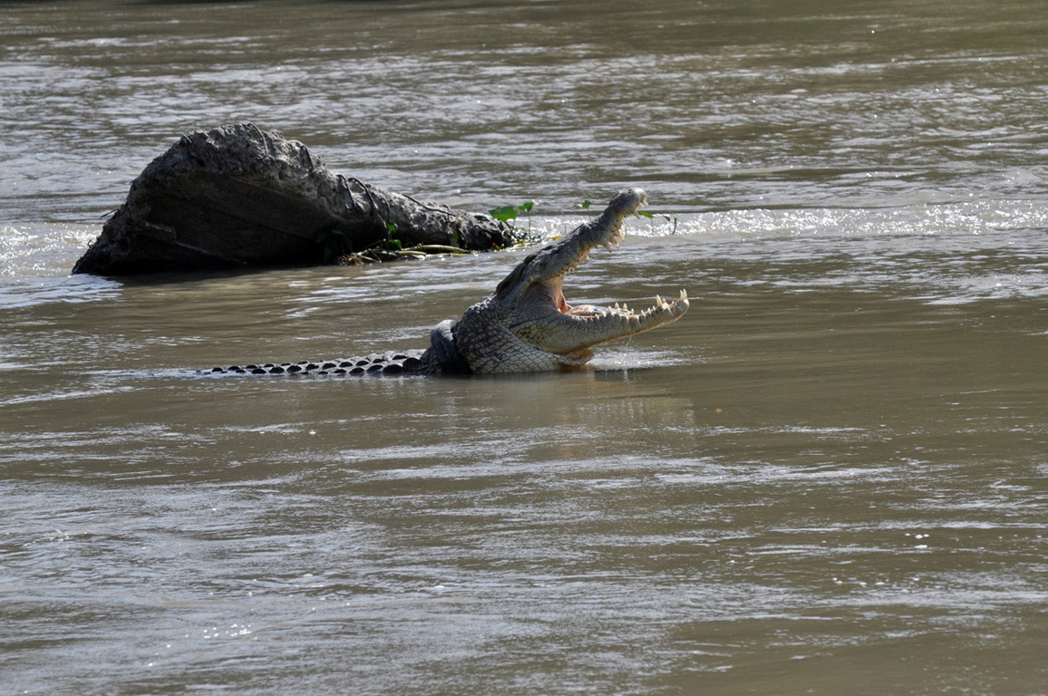 See you later, alligator: Crocodile rescue contest in Palu cancelled as no takers emerge