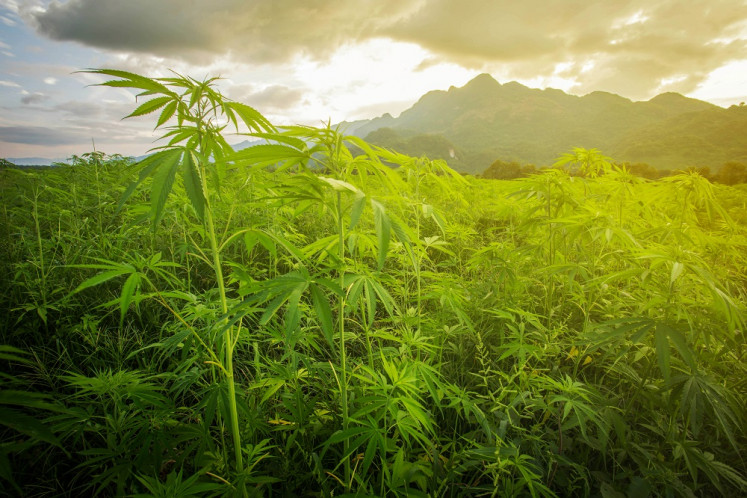 Court rejects 'cannabis tree' judicial review petition