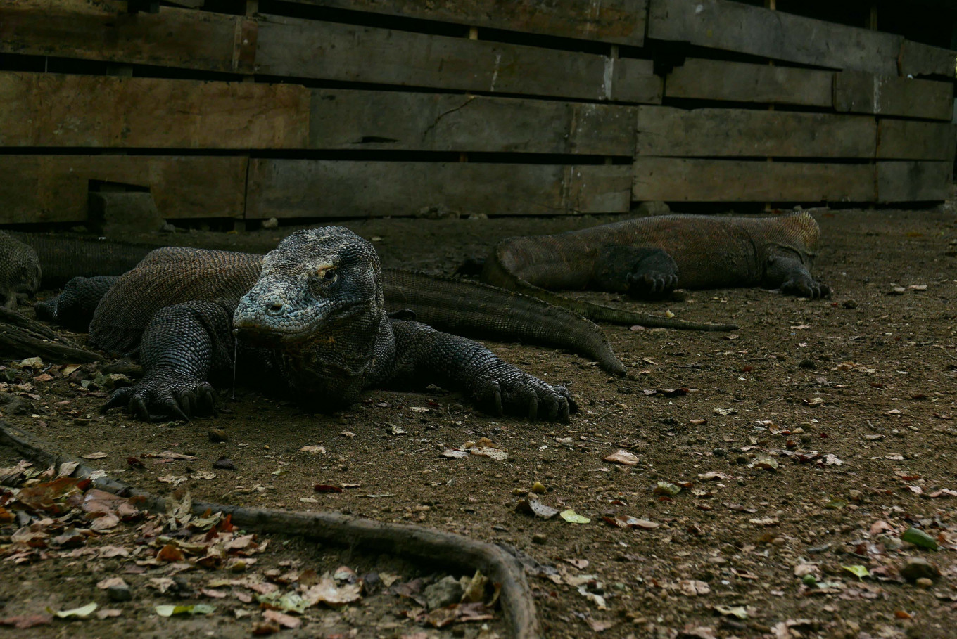 No 'Jurassic Park': NTT administration says Rinca Island project is ecotourism