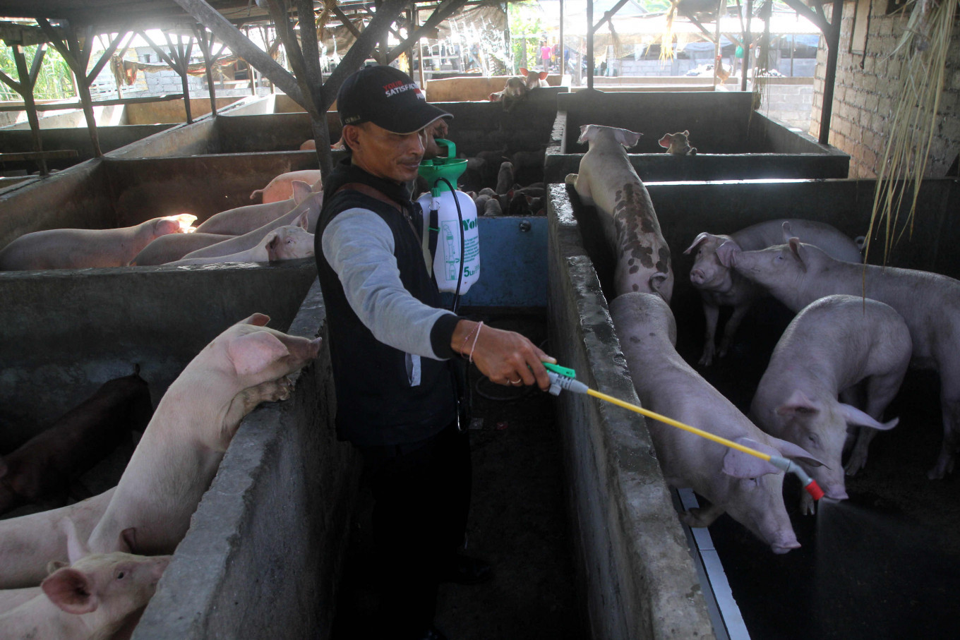 Bali confirms swine fever outbreak amid numerous pig deaths