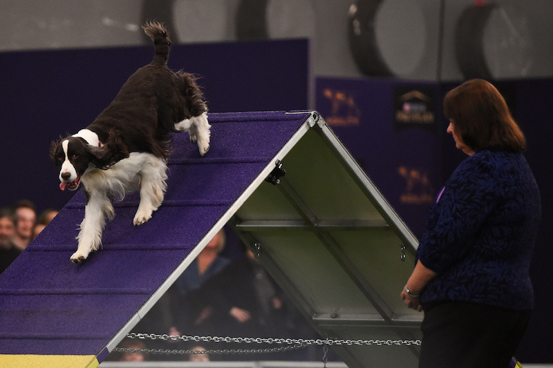 Puppies and older pooches face tough odds to win Westminster glory