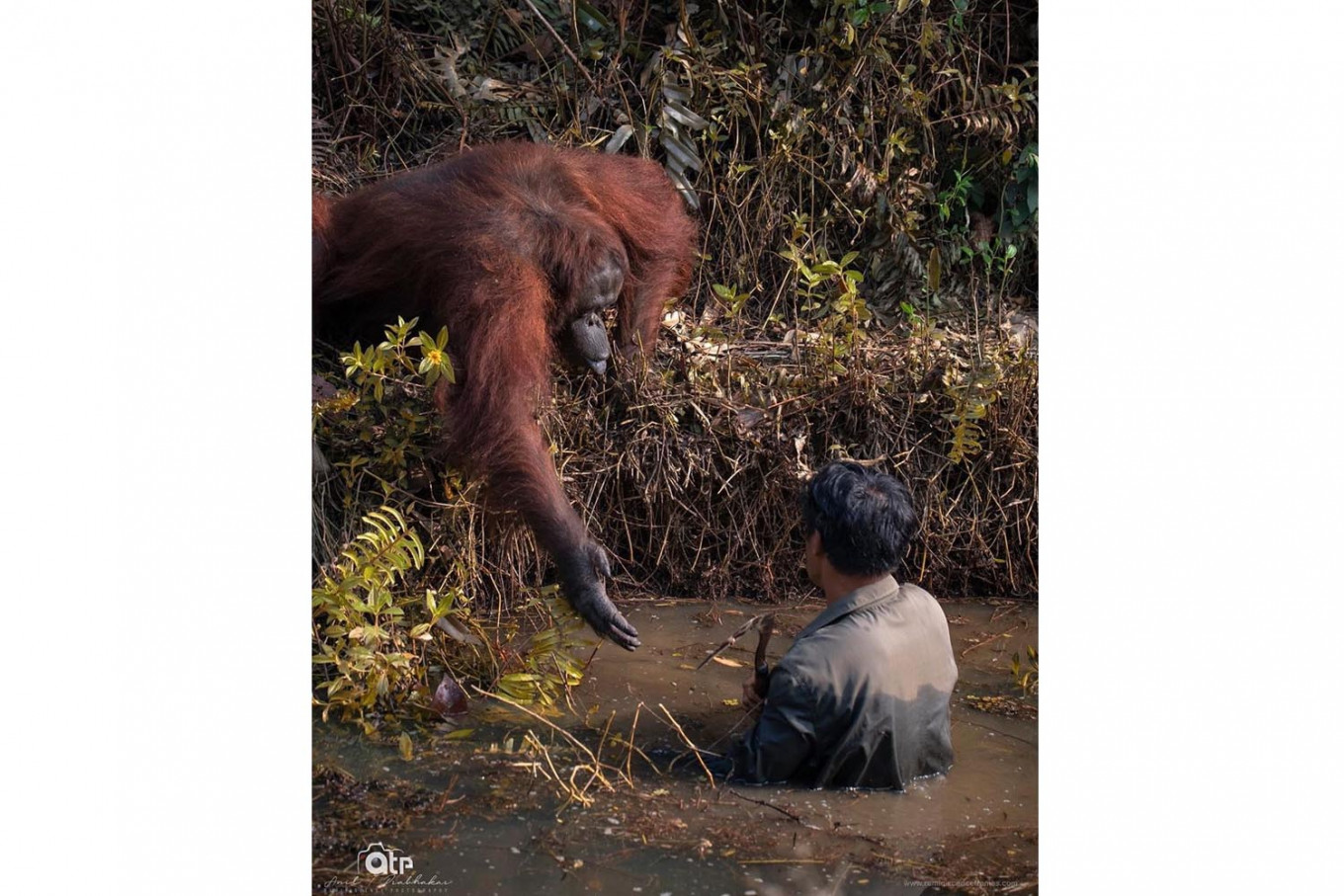 More than meets the eye in photo of orangutan 'offering help' to man