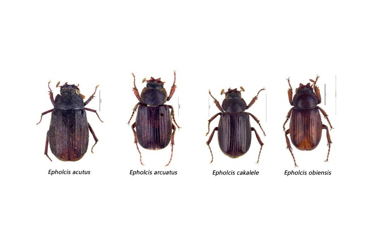 Researchers discover four new beetle species in North Maluku