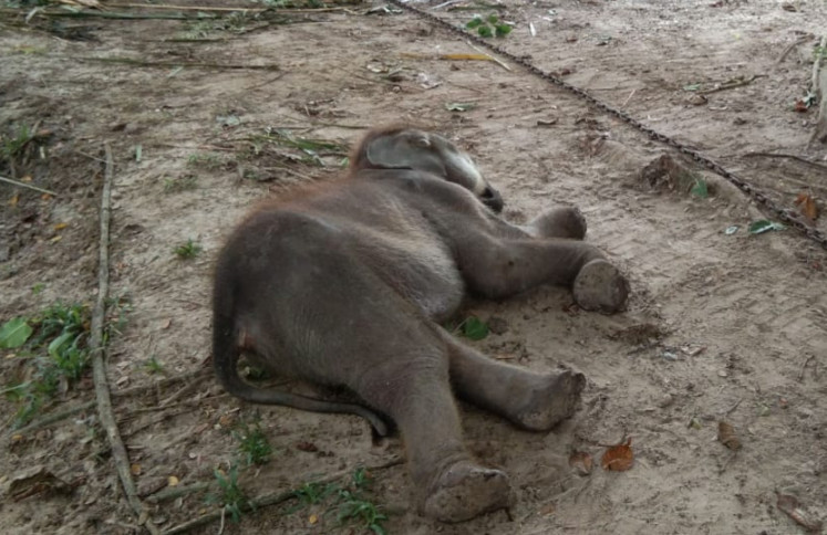 The body of Puan Pandan Wangi, the three-years-old baby elephant, was laying on the ground at Minas Elephant Training Center. Puan died on Friday morning (Feb. 14) after receiving medical treatment for the past two months. She suffered from serious injury after trapped in poacher's snare.