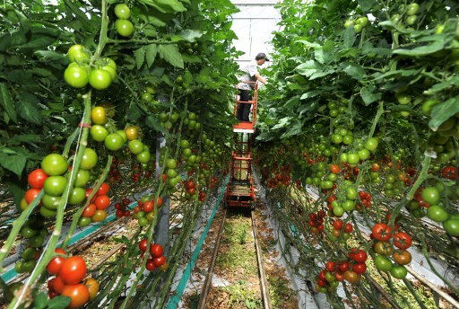 France confirms first case of ruinous tomato virus