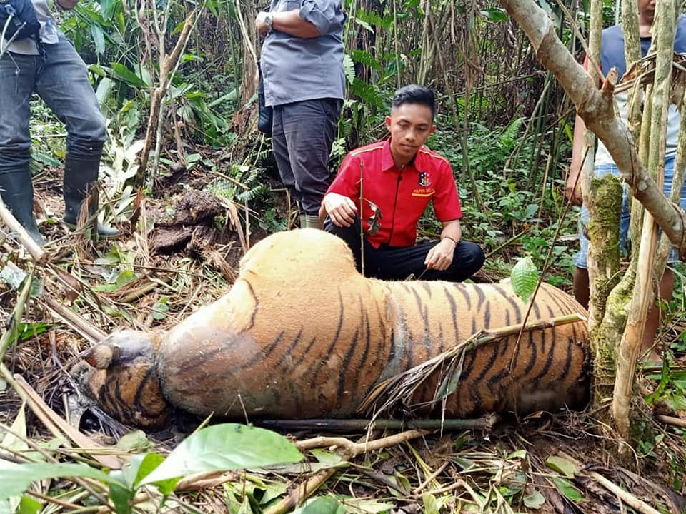 Critically endangered Sumatran tiger found dead with neck caught in wire trap