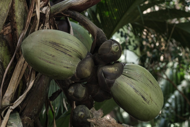 A picture taken on November 21, 2019, shows a tree of sea coconut or