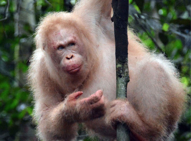 Rare albino orangutan spotted in Kalimantan rainforest