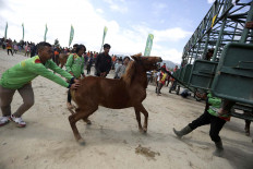 Get in there: Staff members of the organizing committee wrestle a horse to the starting line before a race.  JP/Hotli Simanjuntak