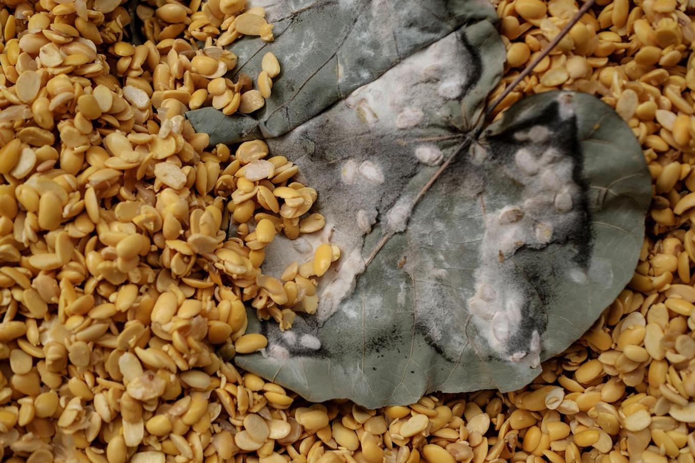 The Rhizopus olihosporus fungus triggers the rapid growth of mold and mycelium on the soybeans. JP/ Anggara Mahendra