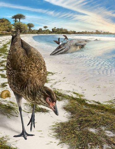Artist's reconstruction of the world's oldest-known anatomically modern bird, Asteriornis maastrichtensis, in this handout photo released to Reuters on Tuesday.