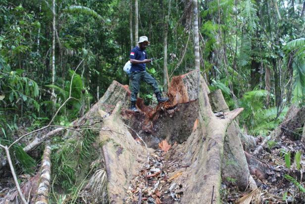 Company commissioner named suspect in Maluku illegal logging case