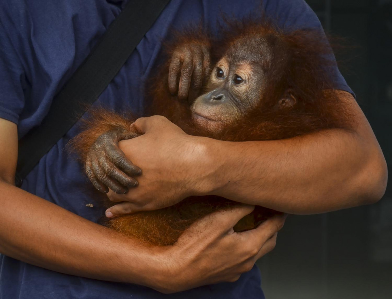 Mount Leuser rangers again thwart attempt to sell infant orangutan
