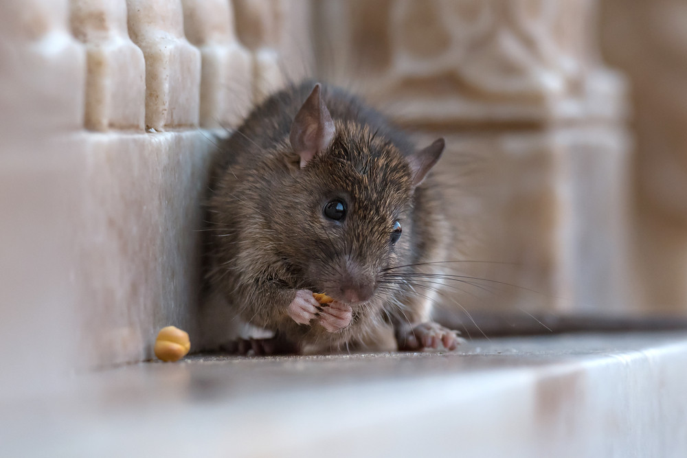 Smelling a rat: How rodents sniff out fake beggars