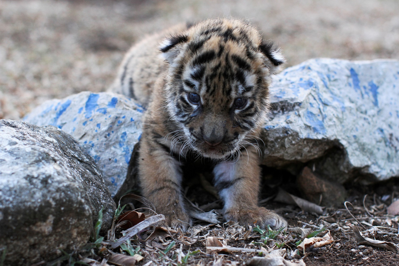 Birth of baby tiger 'Covid' brings hope to Mexican zoo