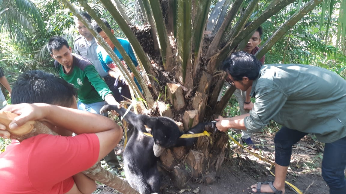 Wildlife agency rescues bear cub ensnared in trap in Riau oil palm plantation