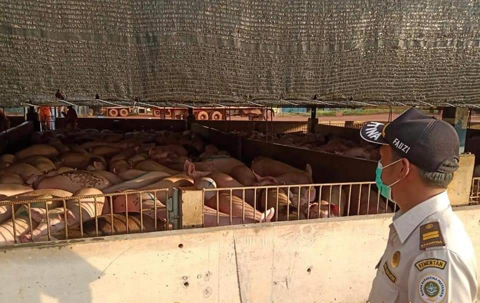 Riau Islands company sees live pig exports to Singapore double after Malaysia's COVID-19 lockdown