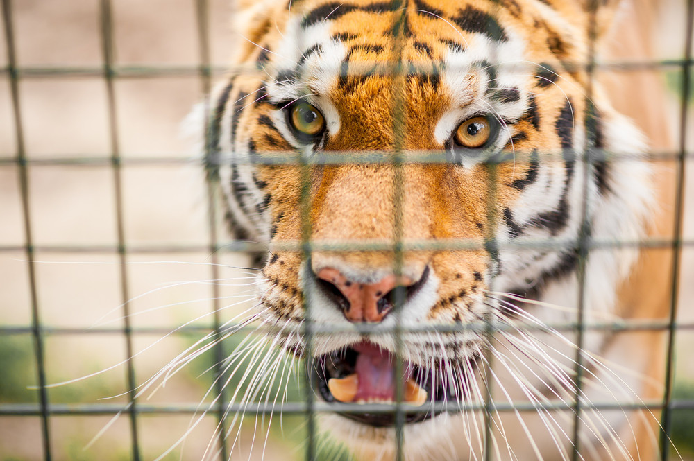'Tiger King' and America's captive tiger problem