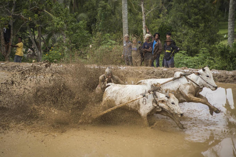 A jockey bites a cow's tail to make it run faster. JP/Ramadhani