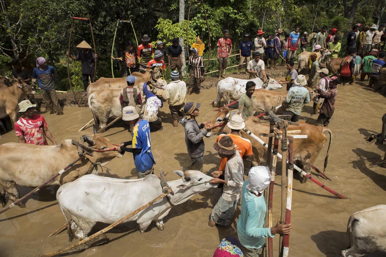 Jockeys prepare their cows prior to the race in a paddy field in Nagari Sungai Tarab, Tanah Datar, West Sumatra, on Jan. 4. 2020. JP/Ramadhani