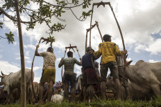 Jockeys prepare to put bamboo frames on their cows. JP/Ramadhani