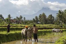 Jockeys bath their cows after the muddy race. JP/Ramadhani