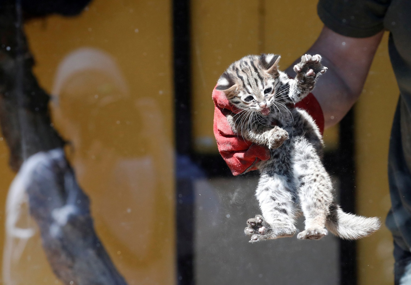 Tiny leopard cat emerges into sunshine but no zoo visitors to see him