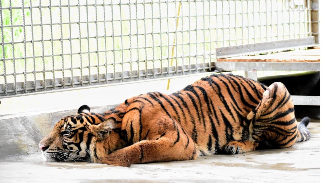 Sumatran tigers face perilous future as efforts made to improve breeding in captivity