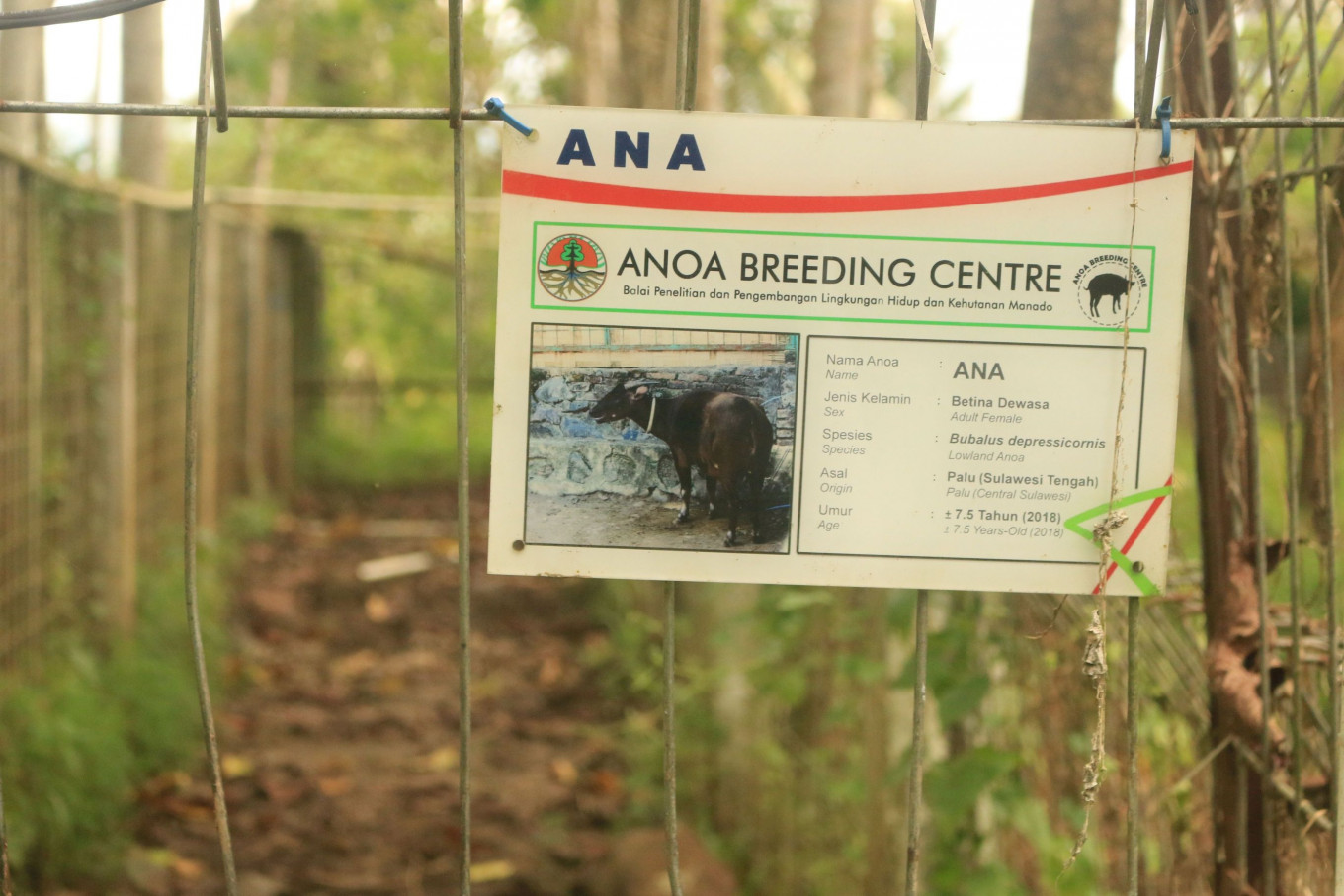 Adult female anoa, two calves die at breeding facility in North Sulawesi