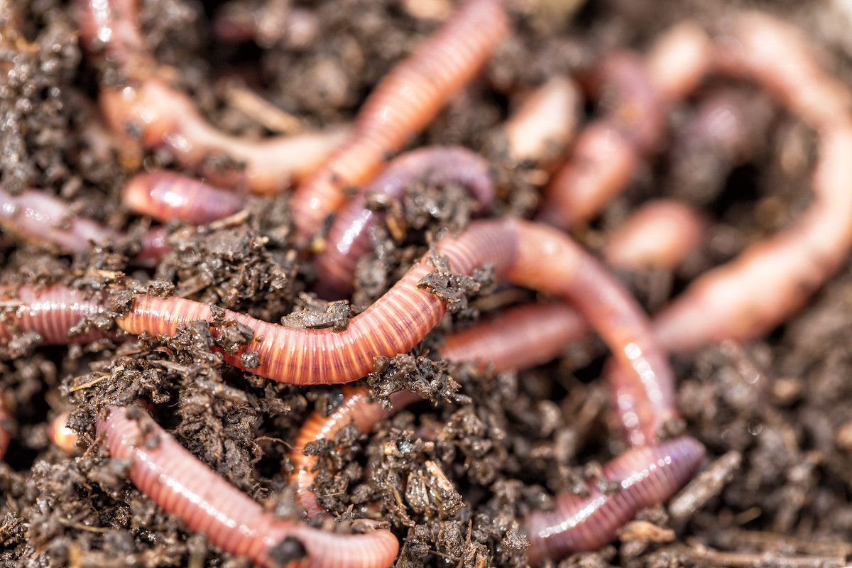 Emergence of thousands of earthworms in Lombok sign of weather changes, not earthquake: BMKG