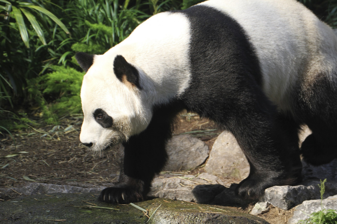 Canada zoo to send pandas home after bamboo shortage